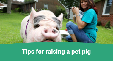 Tips for raising a pet pig -GreatVet